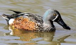 Duck Plumage - Male Australian Shoveler