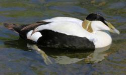 Duck Plumage - Male Eider