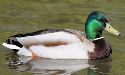 Duck Plumage - Male Mallard