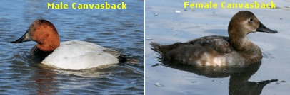 Male & Female Canvasbacks