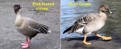 Pink-footed Goose & Bean Goose