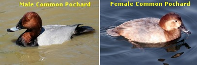 Male & Female Pochards
