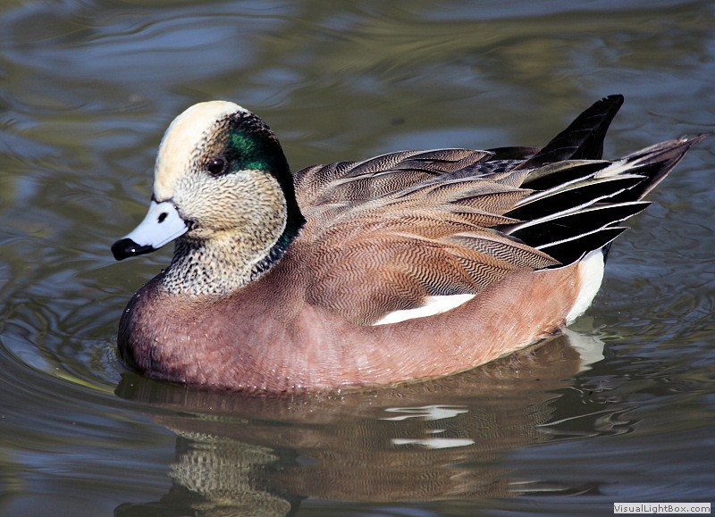 American wigeon - photo#25