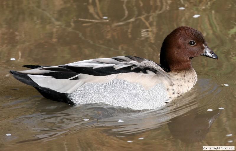 Types of Perching Ducks