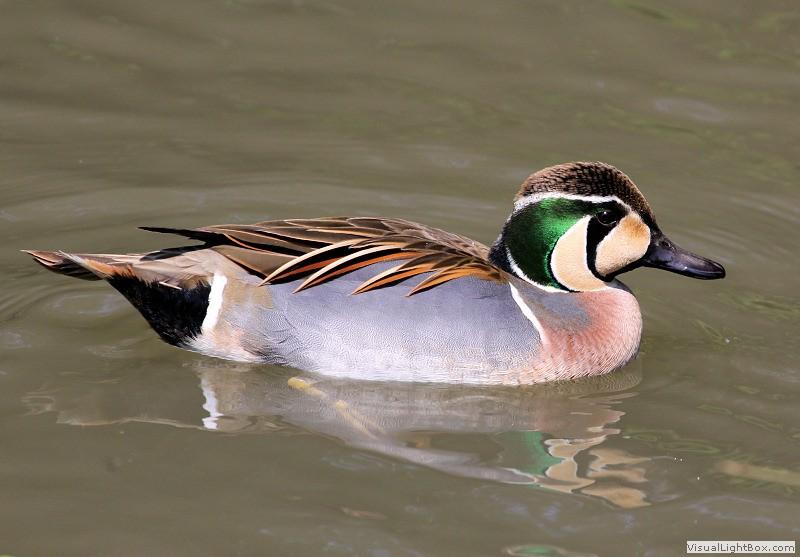 Types of Ducks
