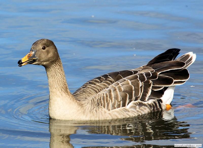 British Geese