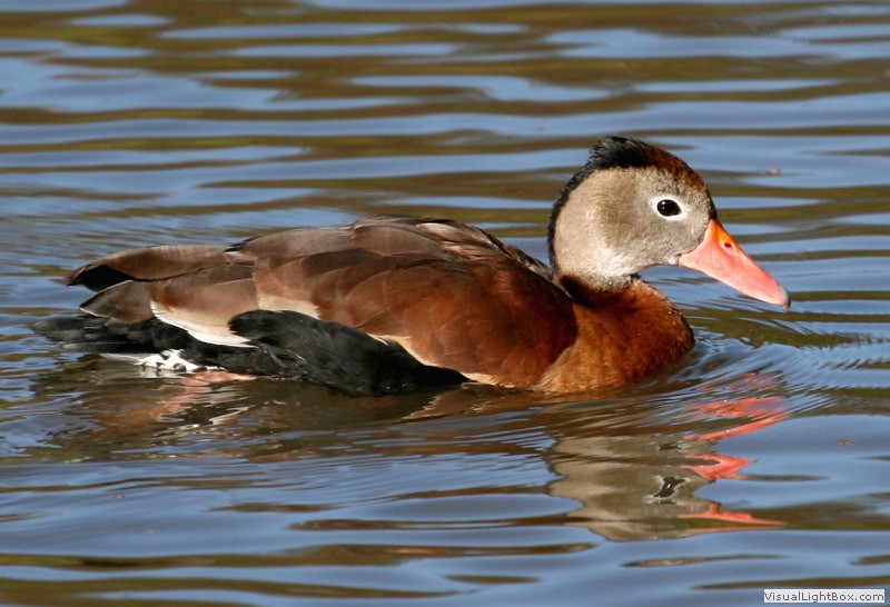 best 28 black bellied whistling duck call identify. Black Bedroom Furniture Sets. Home Design Ideas
