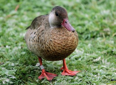 Brazilian Duck