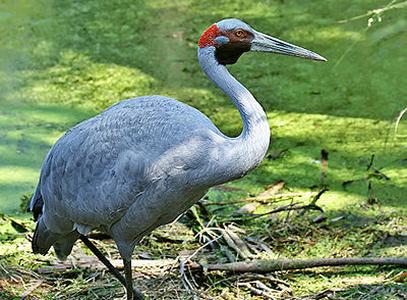 Brolga Crane