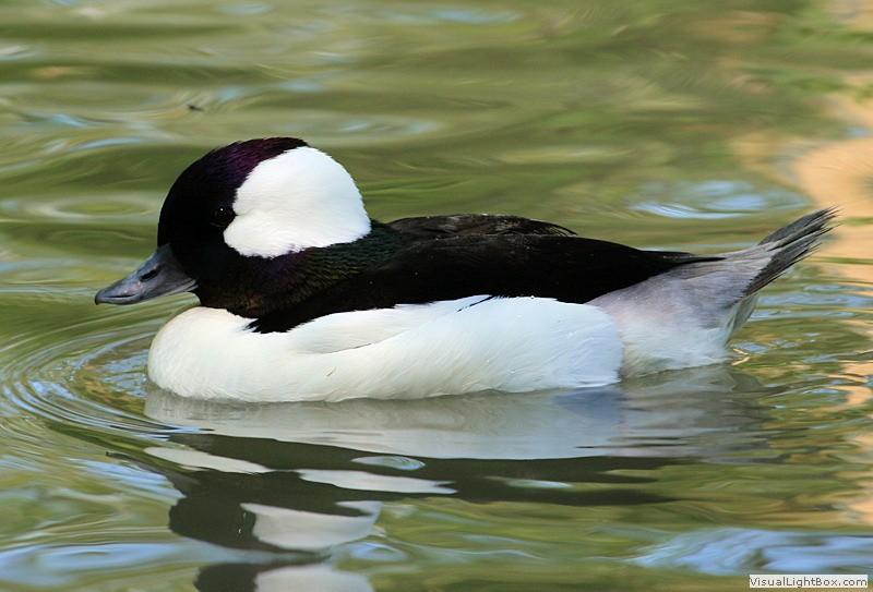 identify bufflehead - duck