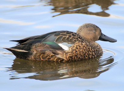 Cape Shoveler - photo by Neill Smith