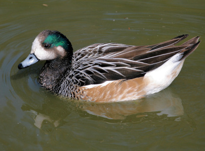 Duck Pictures - Chiloe Wigeon