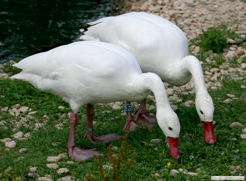 Types of Swans