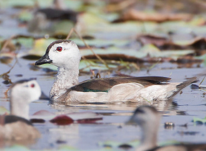 Cotton Pygmy Goose