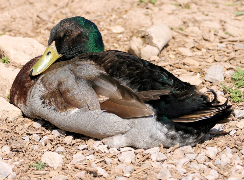 click to enlarge - Duck Breeds