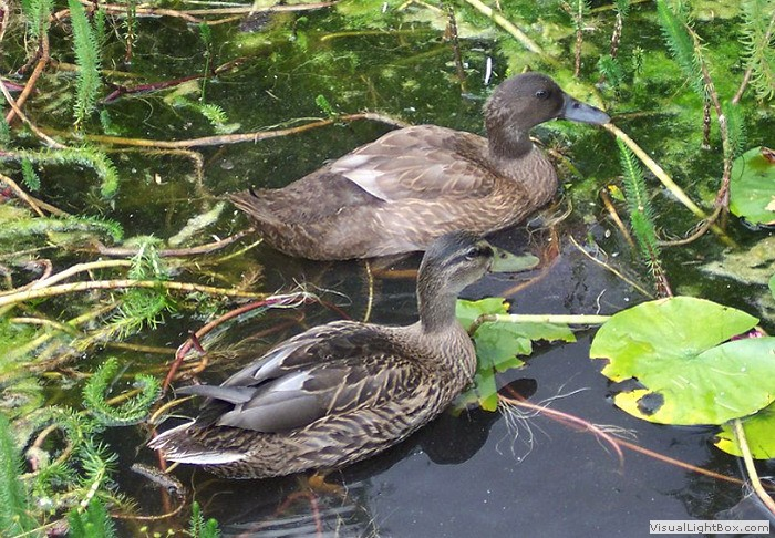 Identify Domestic Duck Breeds - Wildfowl Photography