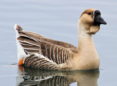 Domestic Swan Goose (Chinese Goose) - Michelle