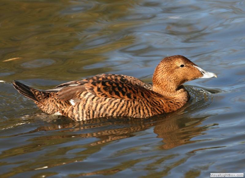 Identify Common Eider Duck Wildfowl Photography