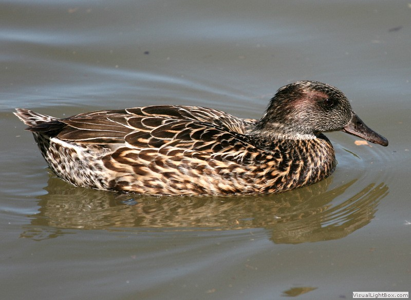 click to enlarge falcated duck - A Picture Of A Duck