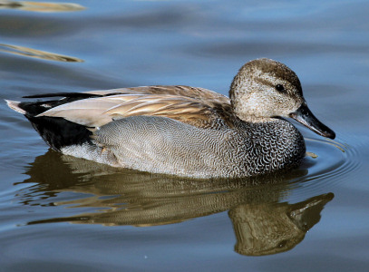 Gadwall - copyright Dave Key.