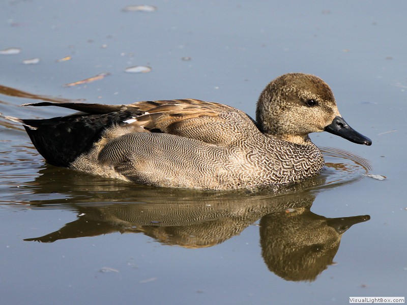 Gadwall Duck Related Keywords & Suggestions - Gadwall Duck Long Tail ...