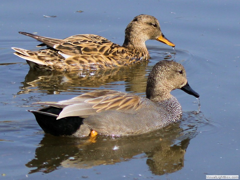 Male And Female Gadwall Duck gadwall - duck - wildfowl photography.