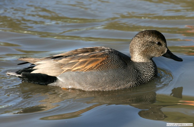 Gadwall Duck Wildfowl Photography