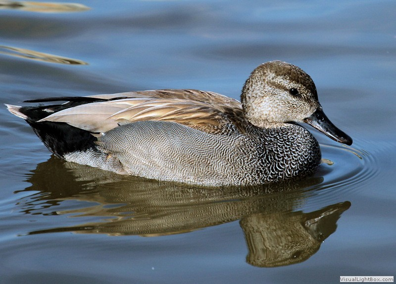 Duck Pictures - Gadwall