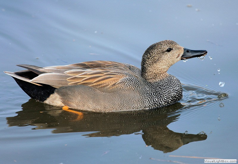 Identify Gadwall - Duck - Wildfowl Photography.