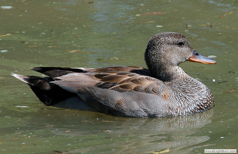 Gadwall - Duck - Wildfowl Photography.