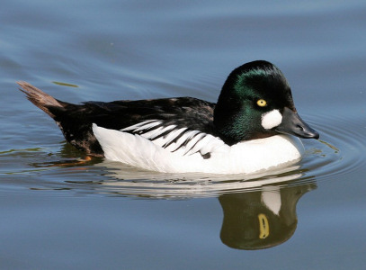 Duck Pictures - Goldeneye Duck