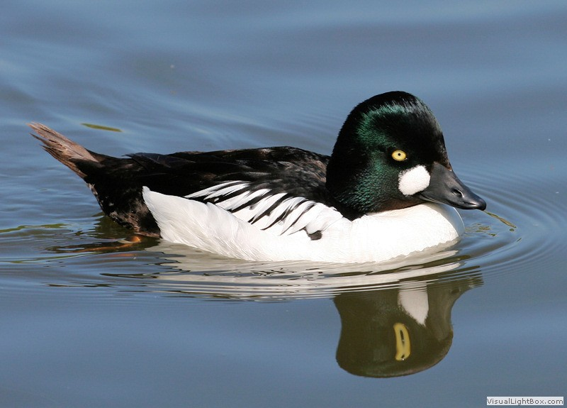 Duck Pictures - Common Goldeneye
