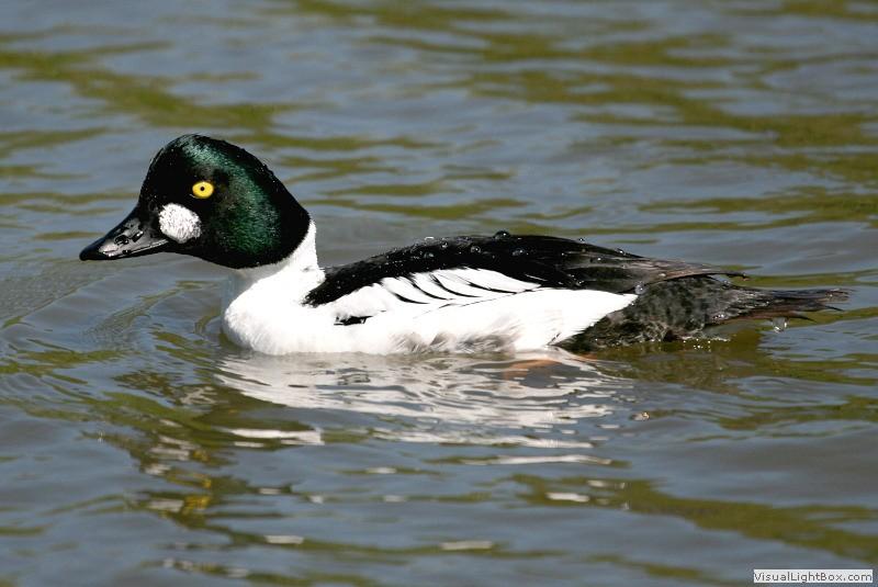 Identify Common Goldeneye - Duck - Wildfowl Photography.
