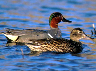 North American Ducks