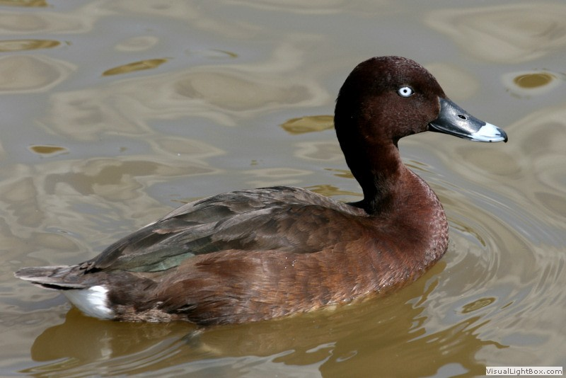 Duck Pictures - Hardhead
