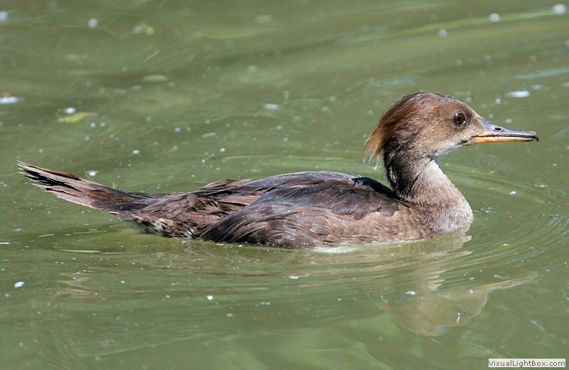 Female hooded merganser duck