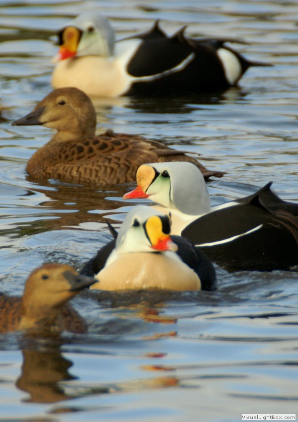 Identify King Eider - Duck - Wildfowl Photography.