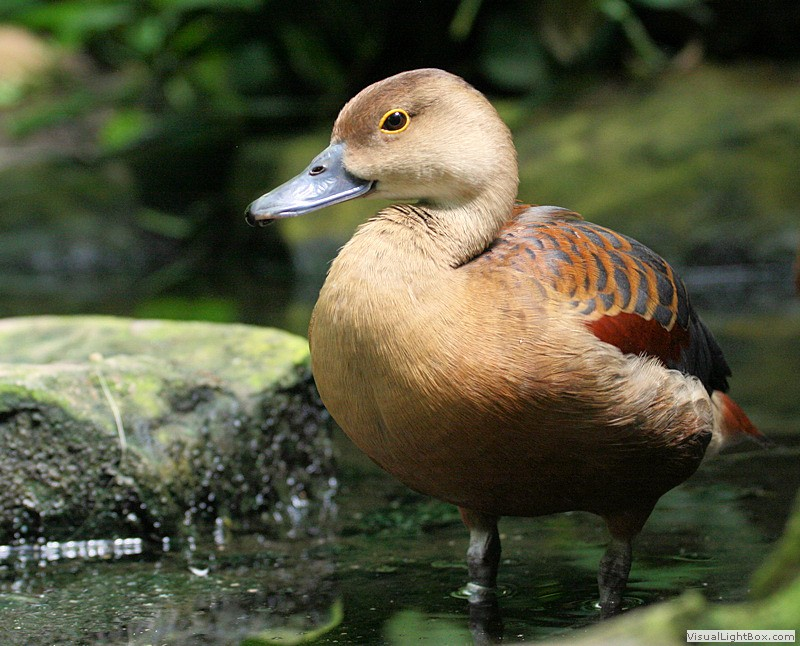 Types of Whistling Ducks