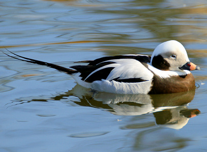 Long-tailed Duck - photo by Neill Smith