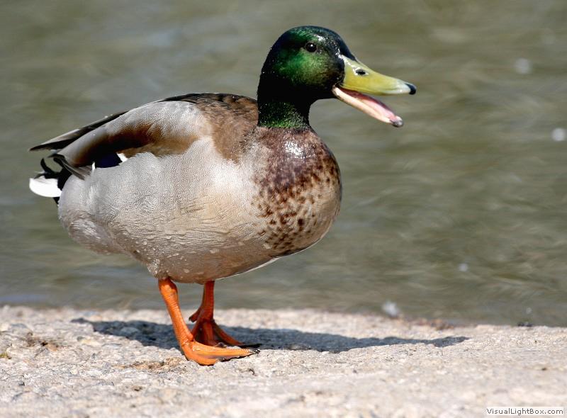 Identify Mallard Duck - Wildfowl Photography.
