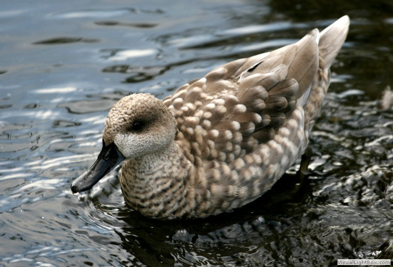 Identify Marbled Teal Or Marbled Duck Wildfowl Photography