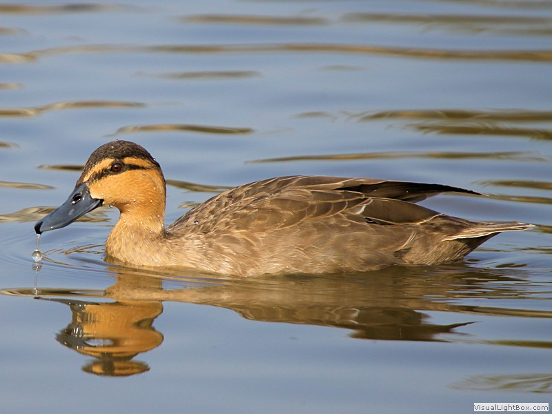 http://www.wildfowl-photography.co.uk/wildfowl/philippine-duck/images1/philippine_duck_24-03-12.jpg