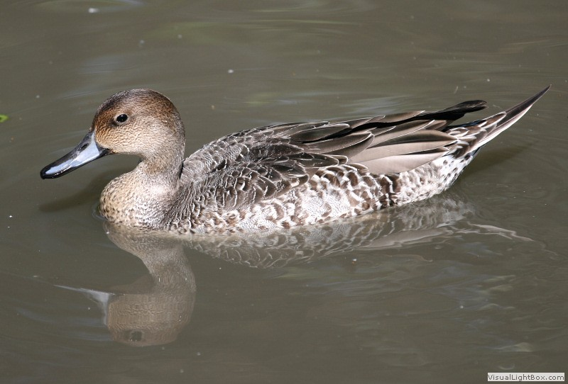 Ducks in eclipse plumage