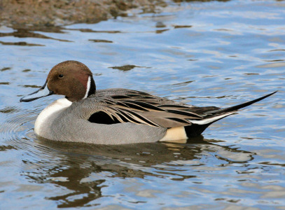 Duck Pictures - Northern Pintail Duck