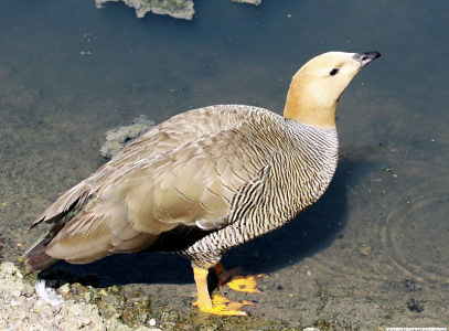 Ruddy-headed Goose