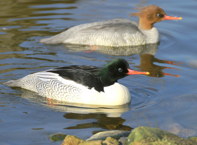 Scaly-sided Merganser - photo by Neill Smith