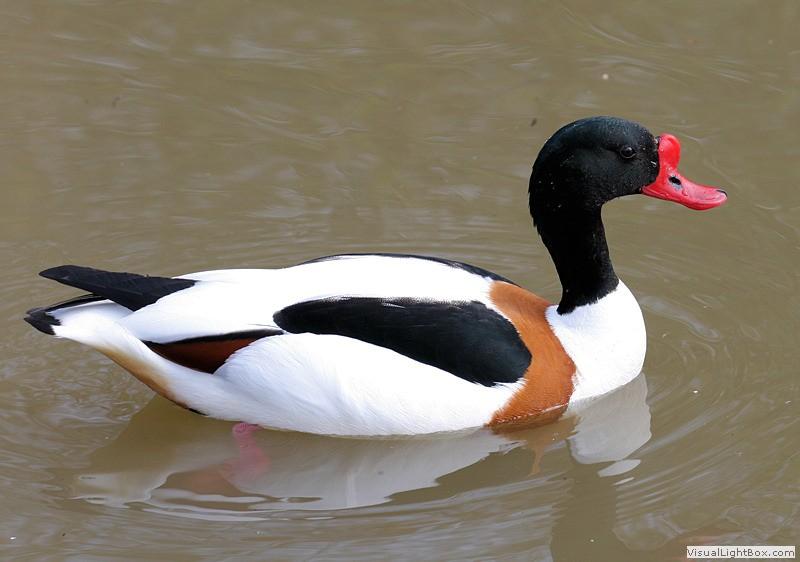 Duck Pictures - Shelduck