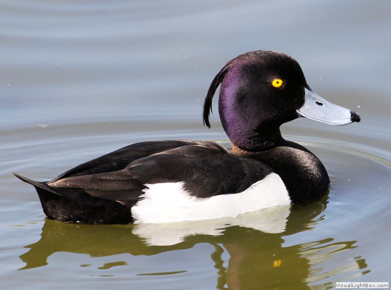 Duck Pictures - Tufted Duck
