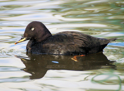 Velvet Scoter - photo by Neill Smith