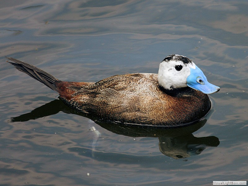 Types of Stiff-tail Ducks
